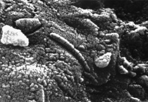 An elongated structure resembling a fossil microorganism (centre of image), revealed in a photomicrograph of a sample of the Martian meteorite ALH84001. The finding has been used in support of a controversial suggestion by some scientists that the meteorite contains microscopic and chemical evidence of ancient life indigenous to Mars. Credit: NASA